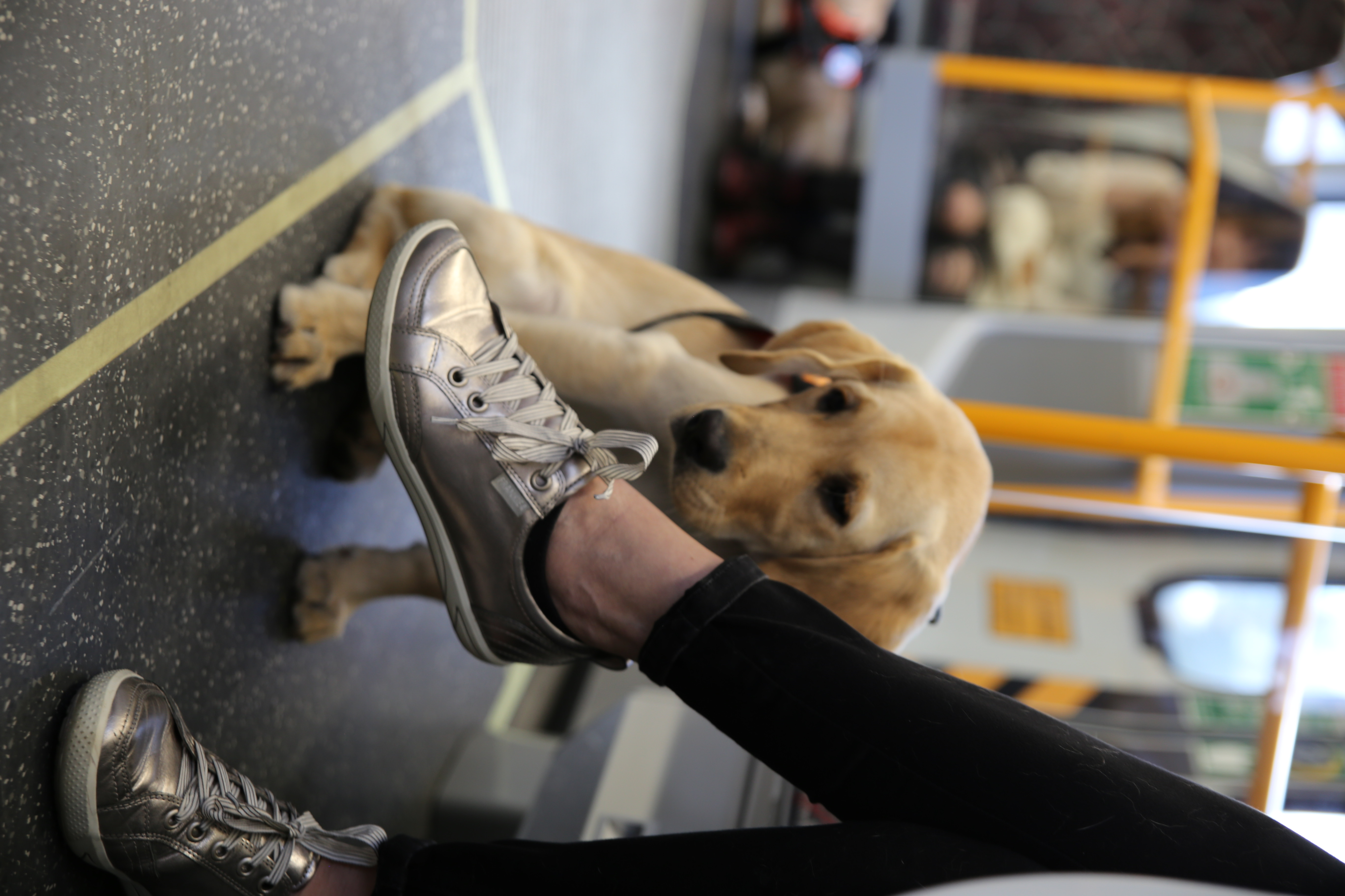 Assistance Dog Puppy on Train