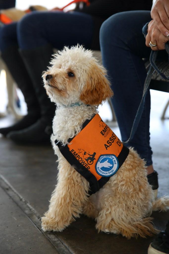 Toy Poodle - Assistance Dog